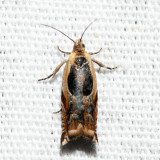 3359 – Black-marked Ancylis – Ancylis metamelana