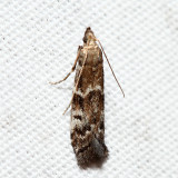 6011 – Brower's Vitula Moth – Vitula broweri