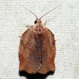 3658 – Omnivorous Leafroller – Archips purpurana
