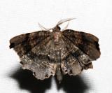 6834 - Dark Scallop Moth - Cepphis decoloraria (m)