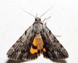 8847 – Graceful Underwing – Catocala gracilis