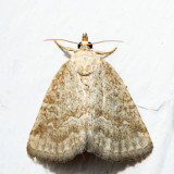 9048 - Pale Glyph - Protodeltote albidula
