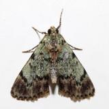 5577 – Dimorphic Macalla – Epipaschia superatalis