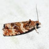 2778 – Olivaceous Olethreutes – Olethreutes olivaceana
