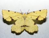 6743 - Crocus Geometer - Xanthotype sospeta (female)