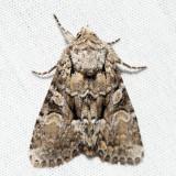 9396 – Dark-winged Quaker – Eremobina claudens