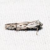 1156.97 - Hypatopa sp.