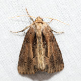 9433 - Reed Canary Grass Borer - Xylomoia chagnoni