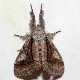8302 - Streaked Tussock Moth - Dasychira obliquata