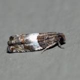 3227 – Gypsonoma substitutionis