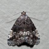 8428 – Dyspyralis nigellus