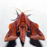 7826 – Huckleberry Sphinx – Paonias astylus