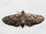 7449 - Small Pine Looper - Eupithecia palpata (f)