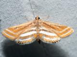 4763 – Floating-heart Waterlilly Moth – Parapoynx seminealis