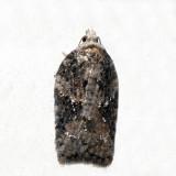 3520 – Small Aspen Leaftier – Acleris fuscana