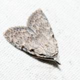 8992 – Three-spotted Nola – Nola triquetrana