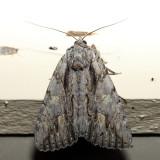 8851 – Scarlet Underwing – Catocala coccinata