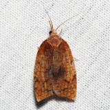 3706 – Mosaic Sparganothis – Sparganothis xanthoides