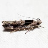 1862 – Pseudochelaria pennsylvanica