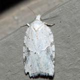 3540 – Black-headed Birch Leaffolder – Acleris logiana
