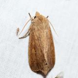 10459 – Unarmed Wainscot – Leucania inermis