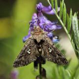 8926 – Dusky Silver Y Moth – Syngrapha octoscripta