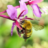 Perplexing Bumble Bee - Bombus perplexus