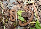 Northern Redbelly Snake - Storeria occipitomaculata occipitomaculata