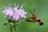 7853 - Hummingbird Clearwing - Hemaris thysbe