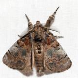 8300 – Cinnamon Tussock Moth – Dasychira cinnamomea