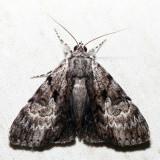 8849 – Andromeda Underwing – Catocala andromedae