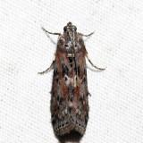 5797 – Black-spotted Leafroller – Sciota virgatella
