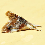 4889 – Julia's Dicymolomia – Dicymolomia julianalis