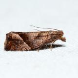 3120 - Derelict Eucosma - Eucosma derelicta