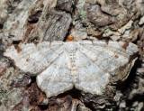 6342 – Red-headed Inchworm – Macaria bisignata