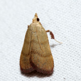 5571 – Drab Condylolomia – Condylolomia participalis