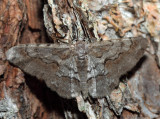 6584 – Small Purplish Gray – Iridopsis humaria