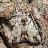 8865 – Praeclara Underwing – Catocala praeclara