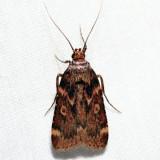 5518 – Grease Moth – Aglossa cuprina