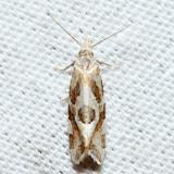 3754 – Aethes angulatana
