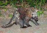 North American Porcupine - Erethizon dorsatum
