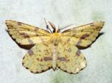 6740 - False Crocus Geometer - Xanthotype urticaria (m)