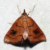4950 – Mint Root Borer – Fumibotys fumalis