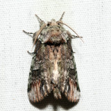8007 – Unicorn Caterpillar Moth – Schizura unicornis