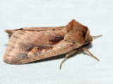 9526 - Pickerelweed Borer - Bellura densa