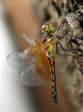 Band-winged Meadowhawk - Sympetrum semicinctum