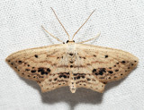 7157 - Frosted Tan Wave - Scopula cacuminaria