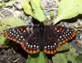 Baltimore Checkerspot - Euphydryas phaeton