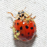 Multicolored Asian Lady Beetle - Harmonia axyridis - (with Laboulbeniales fungus)