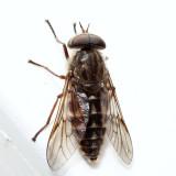 Hybomitra minuscula